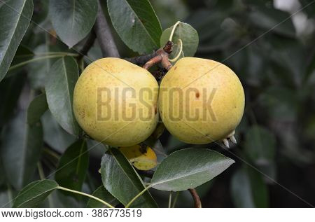 Two Ripe Juicy Pears Hang On The Pear Tree.