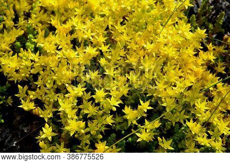 A Small Array Of Stonecrop Flowers Has A Bright Yellow Color.