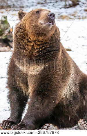 A Grizzly Bear enjoys the winter weather in Montana