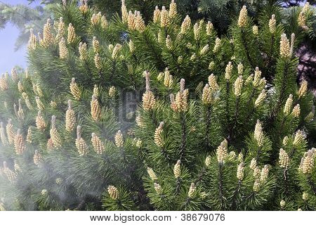 Shedding Of Pine Pollen