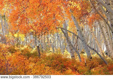 Colorful Aspen trees in San Juan mountains Colorado