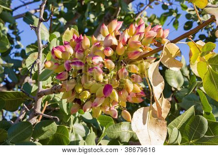 pistachio on tree