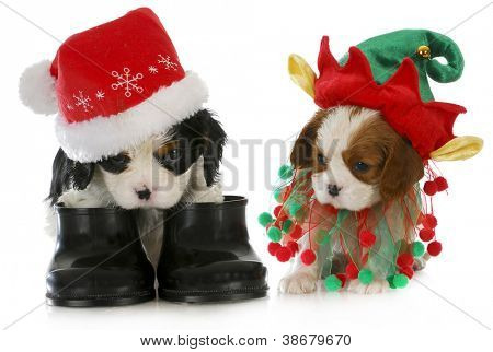 puppy santa and elf - cavalier king charles spaniel puppy dressed up like santa and elf on white background