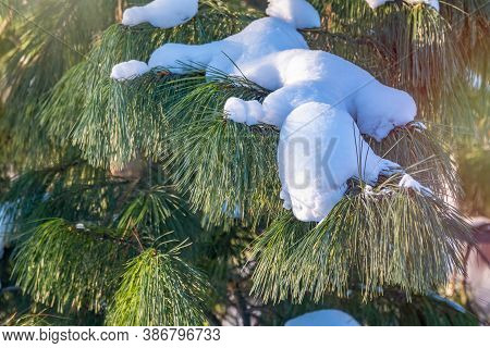 Cedar Branches With Long Fluffy Needles Covered With Snow With A Beautiful Blurry Background. Pinus