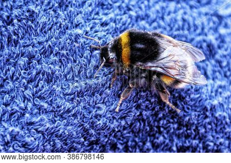 Large Bumble Bee On The Blue Towel