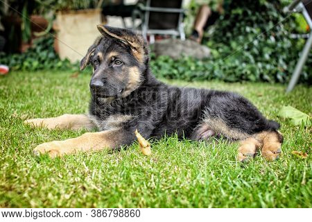 Young Alsatian Dog Laying In The Lawn Looking To The Left