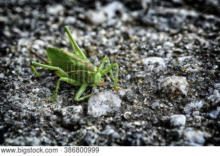 Green Locust Standing On The Gray Silica Stone