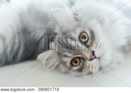 Portrait Of Relaxing Cute Persian Kitten Cat  Laying Down On The Floor And Looking Into The Camera.