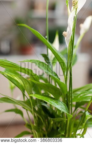 Close Up Of Flower In Home Kitchen While Woman Is Gardening. Decorative, Plants, Growing, Lifestyle,