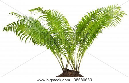 Fern Forest Real Bush Isolated