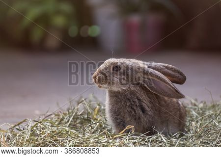 Cute Gray Rabbit Sitting In The Hay. Rabbit In Its Natural Habitat On A Blurry Background With A Cop