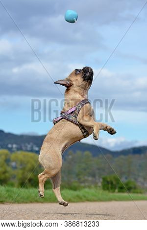Athletic Healthy Fawn French Bulldog Dog Jumping High To Catch A Ball Toy During Playing Fetch In Fr