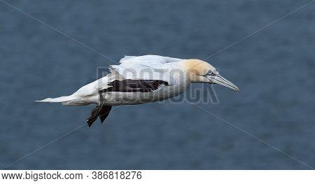 Gannet, Large Seabird In Flight Over Cliffs Of East Coast Of Yorkshire. Uk.