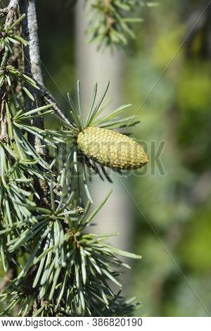 Weeping Blue Atlas Cedar Cone - Latin Name - Cedrus Atlantica Glauca Pendula