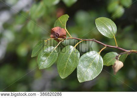 Christs Thorn Branch - Latin Name - Paliurus Spina-christi