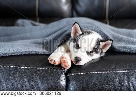 A small white dog puppy breed siberian husky with beautiful blue eyes sleep on leather sofa. Dogs and pet photography