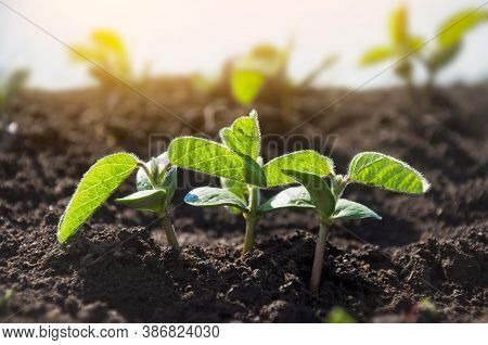 Tiny Soybean Sprouts Are Drawn Towards The Sun In An Agricultural Field. Young Crops Of Soybeans Dur