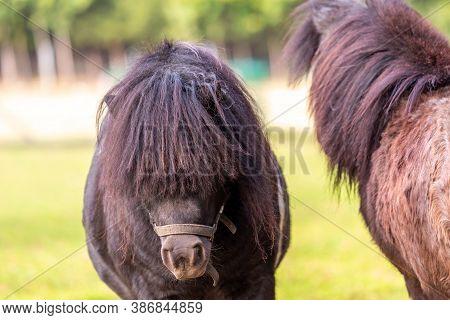 Portrait Of A Shetland Pony At A Farm