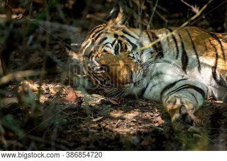 Wild Bengal Tiger Resting In Bushes With Eyes Open At Bandhavgarh National Park Or Tiger Reserve Mad