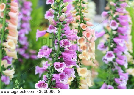 Amazing View Of Colorful Common Foxglove Flowers,many Beautiful Purple Common Foxglove Flowers Bloom