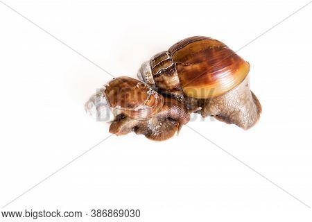 Snail Hells On White Background Top View. Two Isolated Snails On A White Background. Snail Antennas.