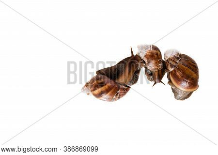 Family Of Snails Photographed On White Background. Medical Snail Isolated On White Background. Adver