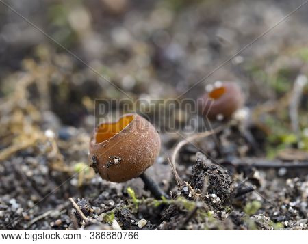 The Anemone Cup (dumontina Tuberosa) - Inedible