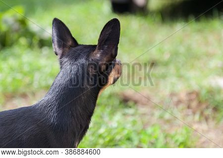 Close-up Of The Head Of A Toy Terrier Or Miniature Pinscher Of Black Color With Brown With Large Ear