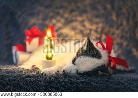 A small white dog puppy breed siberian husky with red bow and gift boxes sleep on grey carpet. Perfect birthday and Christmas present for your child