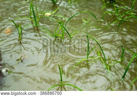 Monsoon Rain Falling On Sprouting Green Grass Leaves On A Water Logging Agriculture Area. Heavy Rain