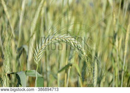 Wheat Stalk Close Up, Crop Close Up
