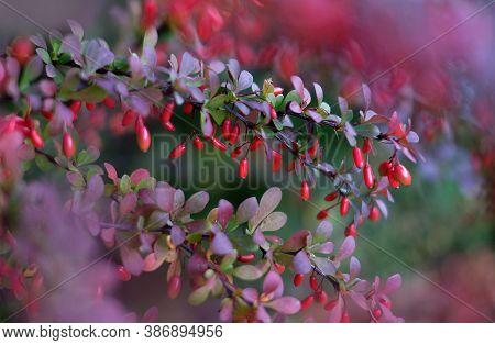 Red Cornus Mas Berry On Tree Branch, Soft Focus