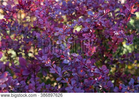 Background With Red Cornus Mas Berry On Tree Branch, Soft Focus, Purple Color