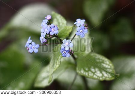 Small Blue Flowers Of A Brunnera Macrophylla Of A Grade Jack Frost Soar Over Big Leaves With The Bea