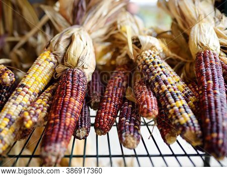 Colorful Ears Of Indian Corn Ready For Sale At The Seasonal Agricultural Fair. Market On Pumpkin Far