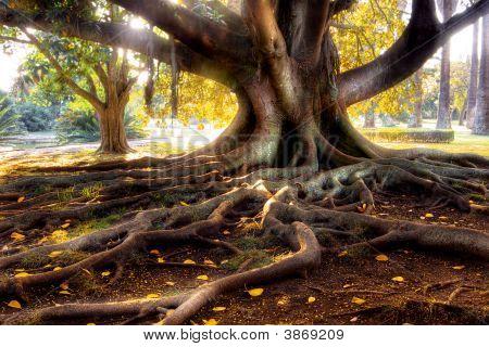 Centenarian Tree