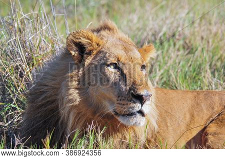Male Lion Lying In Dry Grass In The Wild. Botswana Africa. In The Wild.  Panthera Leo. 2011.
