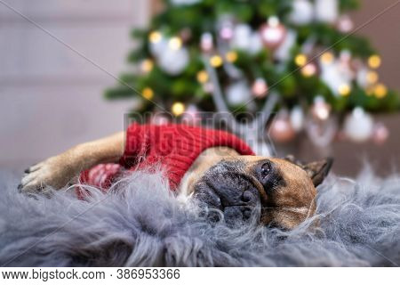 Cute Tired French Bulldog Dog Wearing A Red Knitted Christmas Sweater Sleeping On Cozy Fur Blanket I