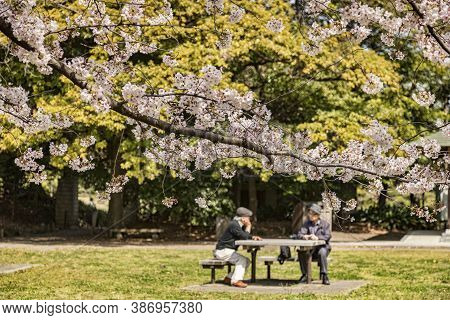 5 April 2019: Tokyo, Japan - Cherry Blossom In Kiyosumi Garden, A Traditional Style Landscape Garden