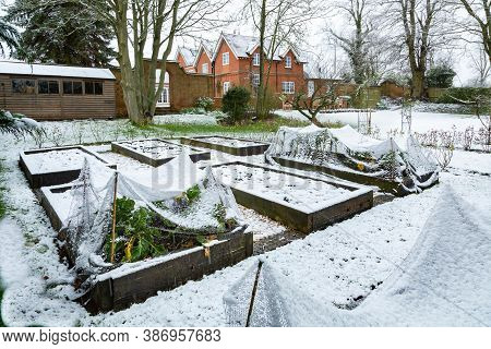Winter Vegetable Garden Covered In Snow With Wooden Raised Beds, Uk