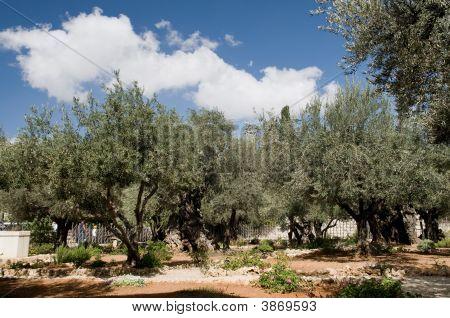 Garden Of Gethsemane - Jerusalem