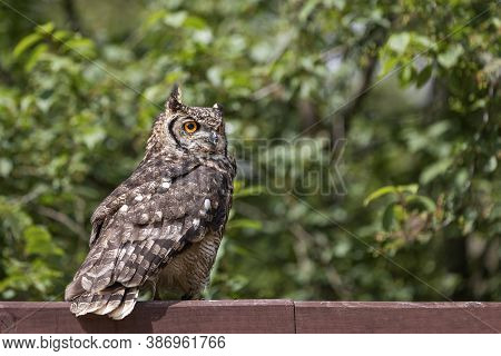 Great Eagle Owl Sitting On A Beam. In The Background Are Trees. The Photo Has A Nice Bokeh.