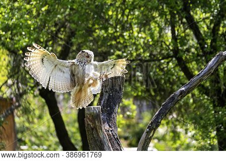 Great Eagle Owl Lands On A Tree. The Owl Has Its Legs Forward And Its Claws Are Visible.