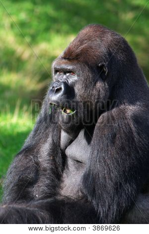 portrait of a grass eating Silverback Gorilla poster