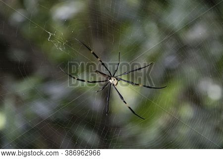 A Golden Orb Weaver Australian Spider Female, In The Center Of Its Spider Web.