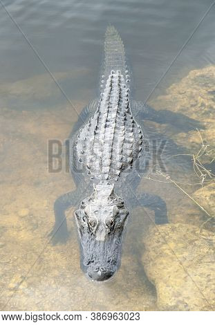 The View From Above Of A Wild Alligator In Everglades National Park (florida).