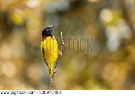 Male black-headed weaver bird perched on a twig. Autumn toned background with space for text.