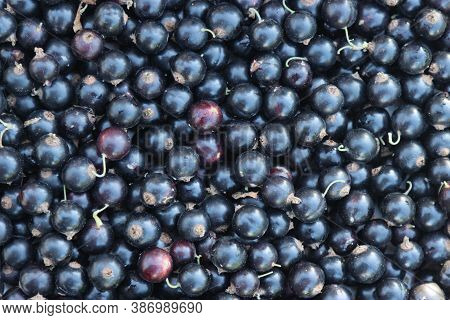 Harvested Ripe Blackcurrant Berries In The Garden