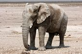 A bull elephant standing and watching us poster