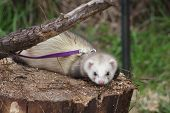 A pet ferret with purple lead attached momentarily laying upon the face of a cut log staring directly at photographer poster
